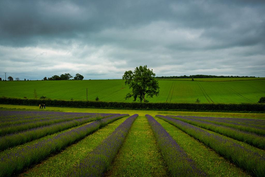 Cotswold Lavender Fields