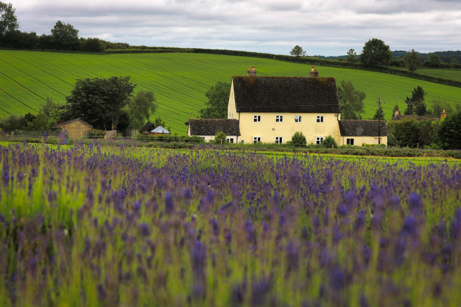 Cotswolds Lavender Fields